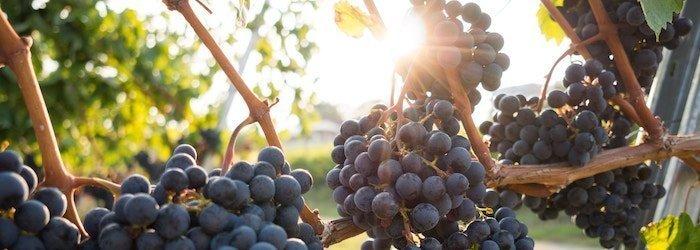 Piedmont & Burgundy grapes